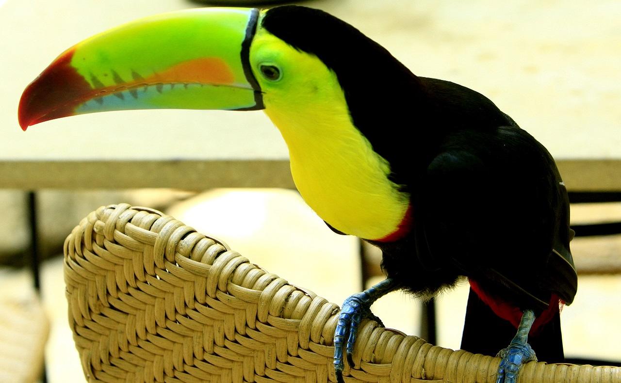 Foto de Tucán para ilustrar nota sobre el avistamiento de aves en Cartagena y Bolívar
