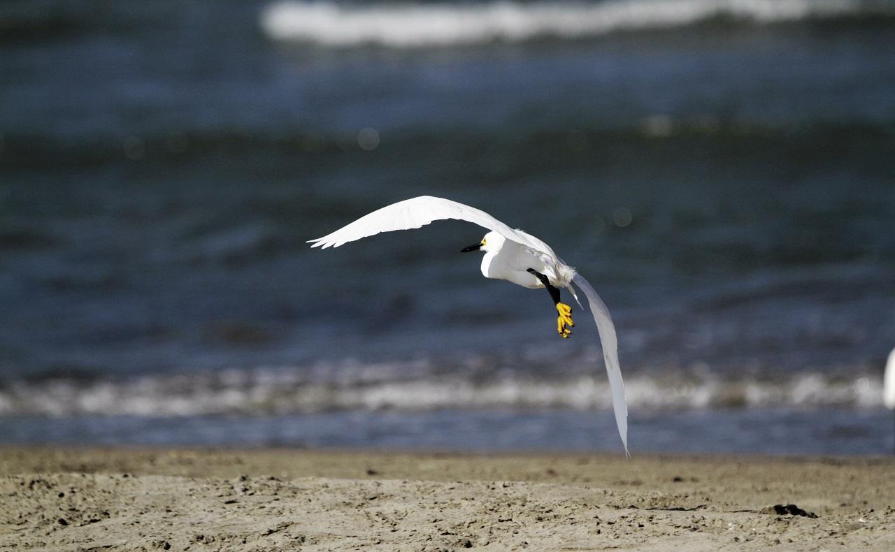 Imagen de una garza pati amarilla sobrevolando una playa para ilustrar nota de avistamiento de aves en Cartagena y Bolívar