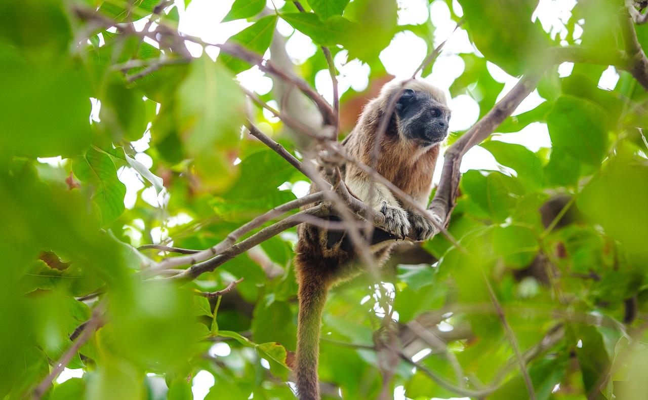 Mono en árbol del Parque del Centenario en Cartagena