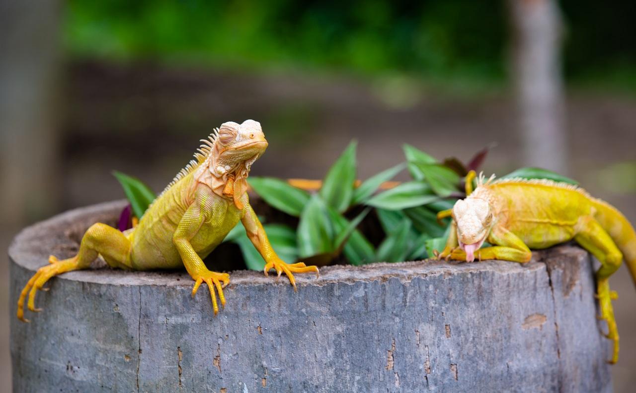 Iguanas alvinas, animales en peligro