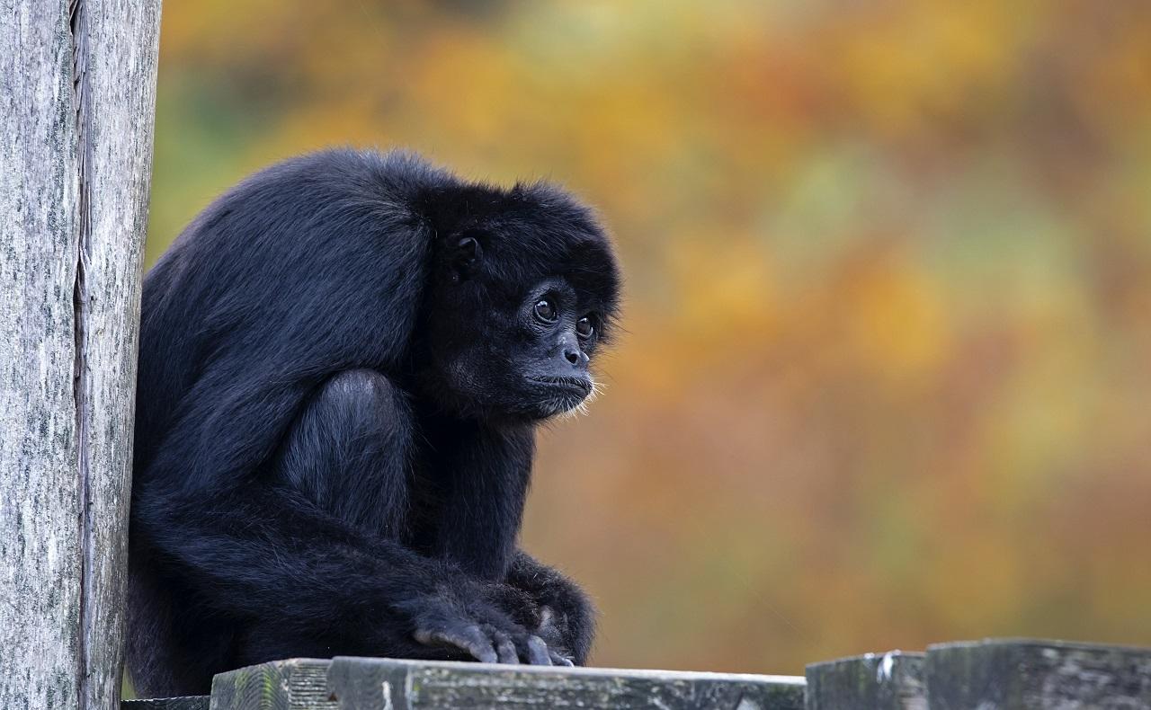 Mono Araña, animales en peligro