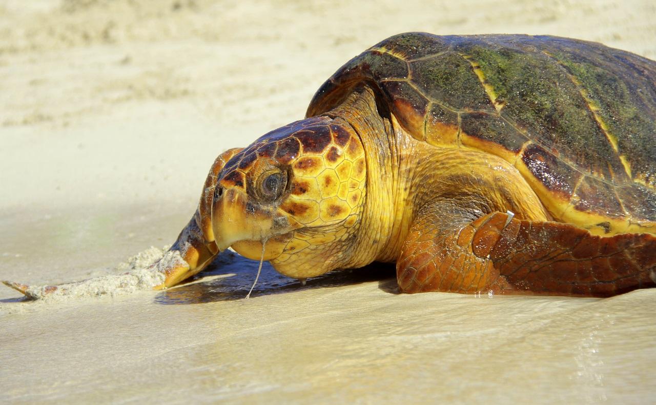liberación de tortugas en Isla Múcura en las Islas del Rosario Cartagena de Indias